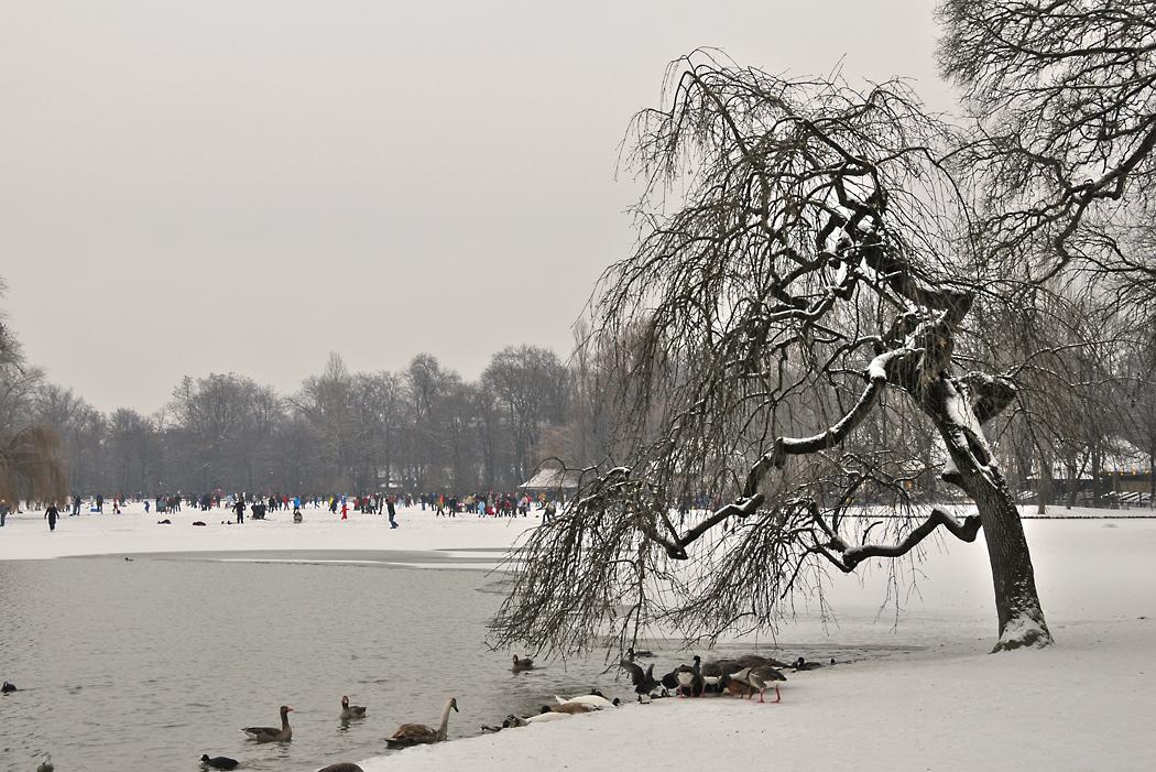 Baum am Kleinhesseloher See in München