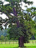 Baum am Niederrhein