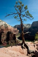 Baum am Scout Overlook