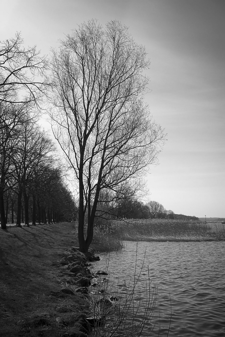 Baum am Uckersee