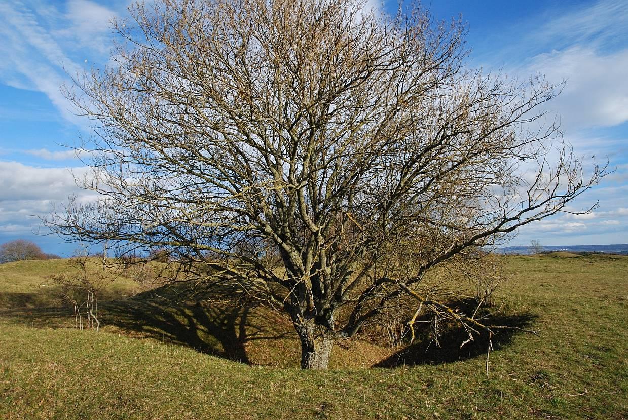 """Baum auf dem Ringwall """"Gelbe Bürg"""""""