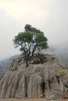 Baum auf Felsen bei Sa Calobra