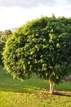Baum auf Fuerte ventura