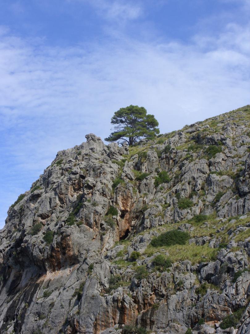 Baum auf Mallorca
