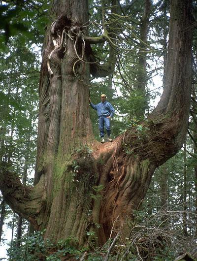 Baum auf Vancouver Island