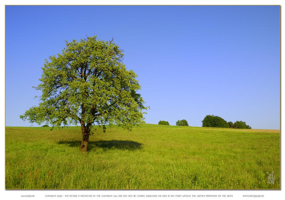 Baum auf Wiese (Hirzel, Schweiz)