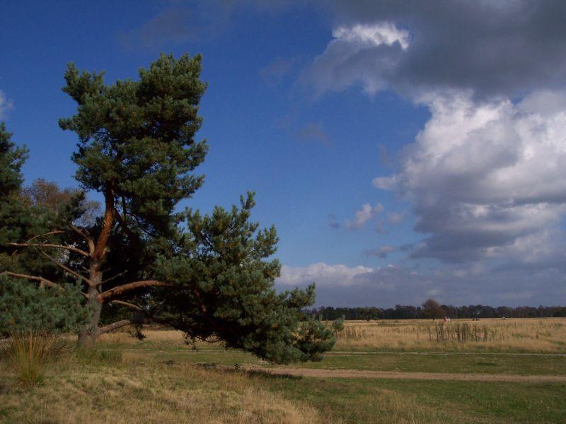Baum bei Schneverdingen