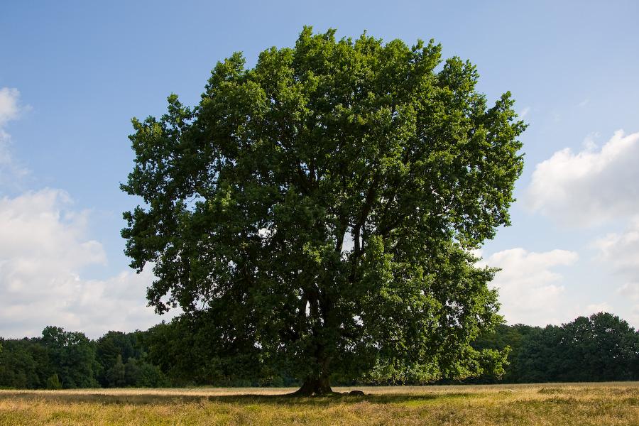 Baum bei Wilsede - Lüneburger Heide