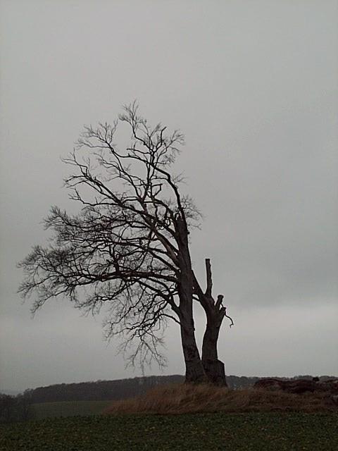 Baum beim Sterben