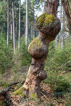 Baum-Beulen im Reinhards-Urwald