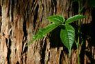 Baum-Blatt