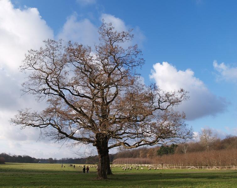 Baum - Blauer Himmel - Blökende Schafe