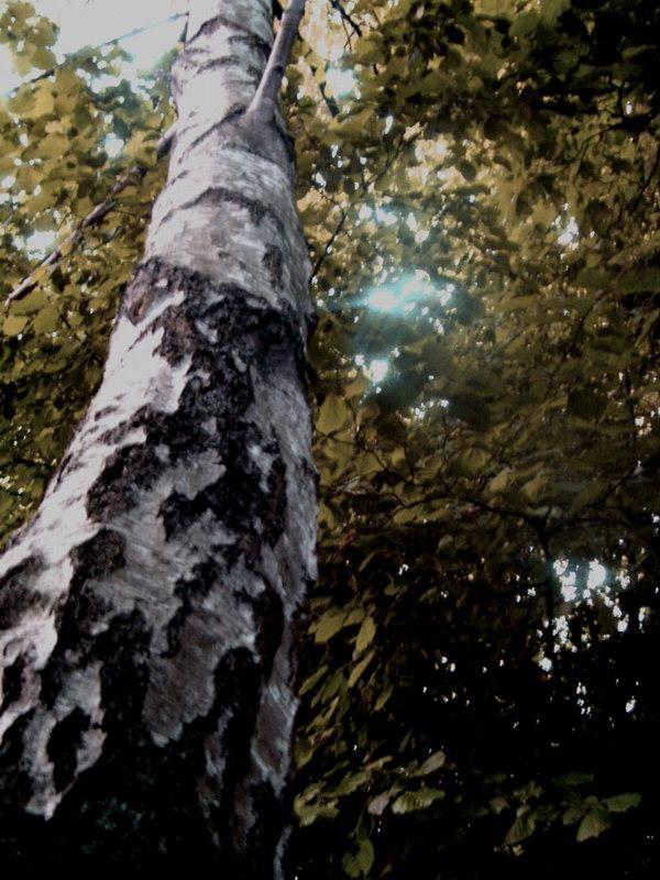 Baum.....