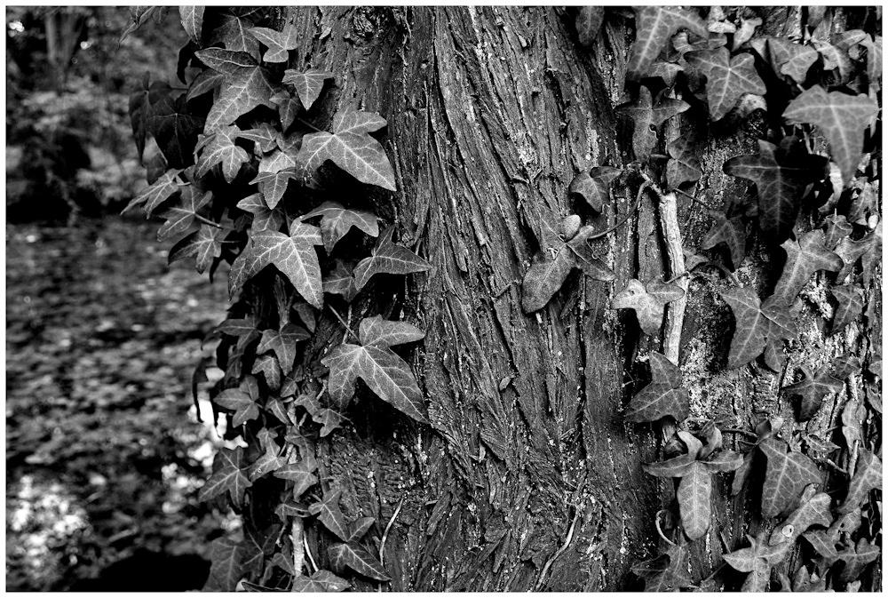 Baum Efeu Tümpel
