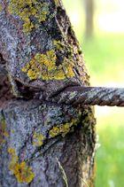 Baum frisst Drahtseil