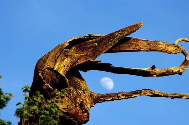 Baum frisst Mond