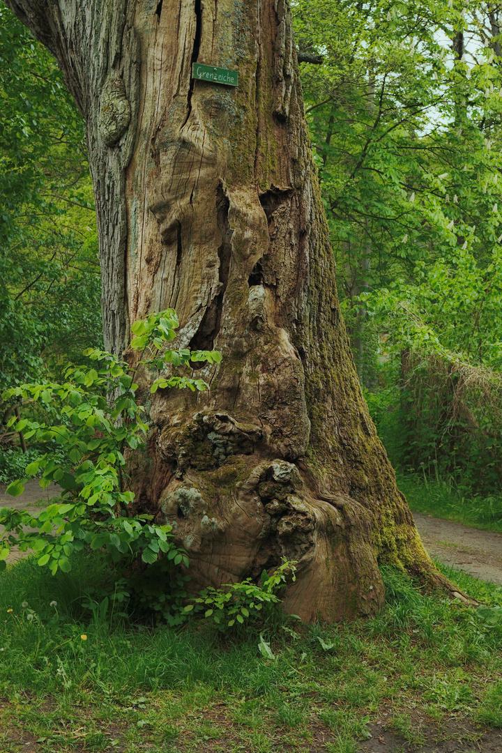 Baum - Geist oder nur Grenzeiche