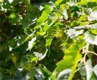 Baum-Hasel (Corylus colurna)...