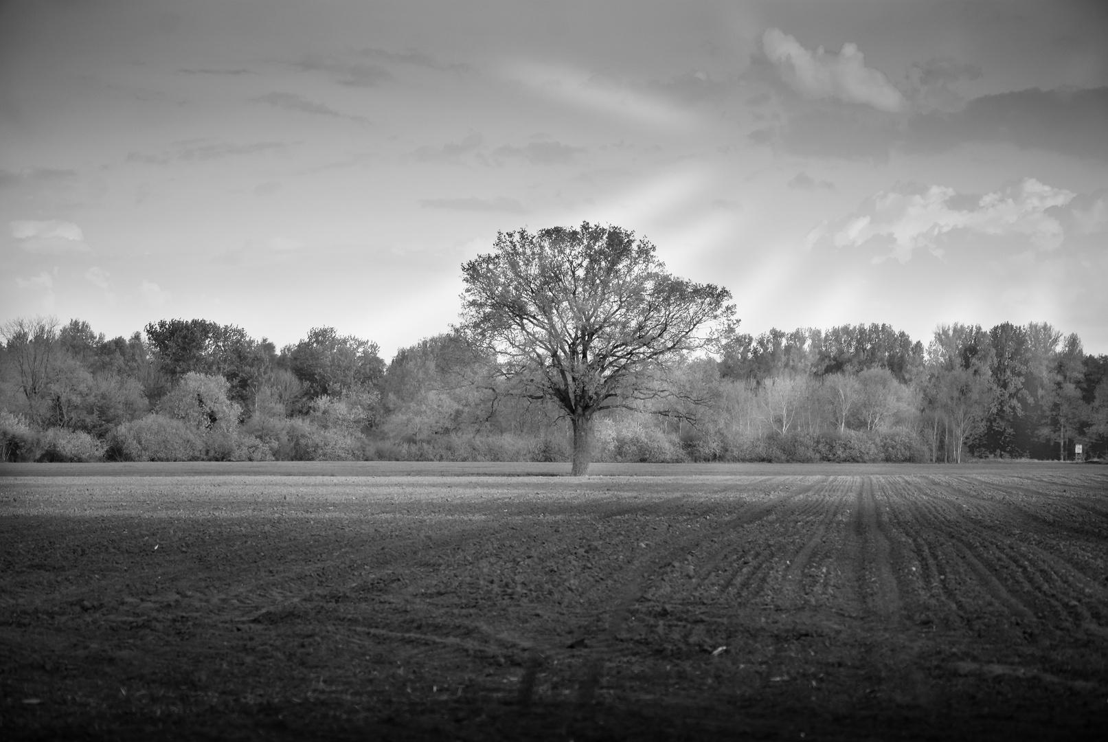 Baum im Acker