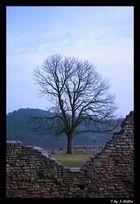 Baum im Garten der Sachsenburg