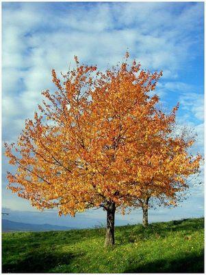 Baum im goldenen Herbst am Schönberg zu Freiburg im November 2006