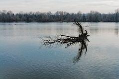 Baum im Ill-Kanal