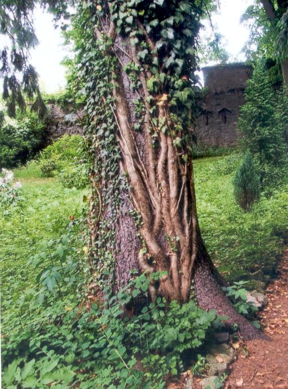 Baum im Klostergarten