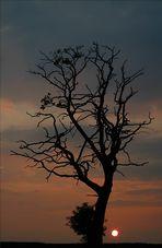 Baum im Sonnen untergang