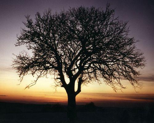 Baum im Sonnenuntergang, die zweite