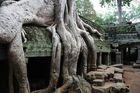Baum im Tempel Ta Prohm