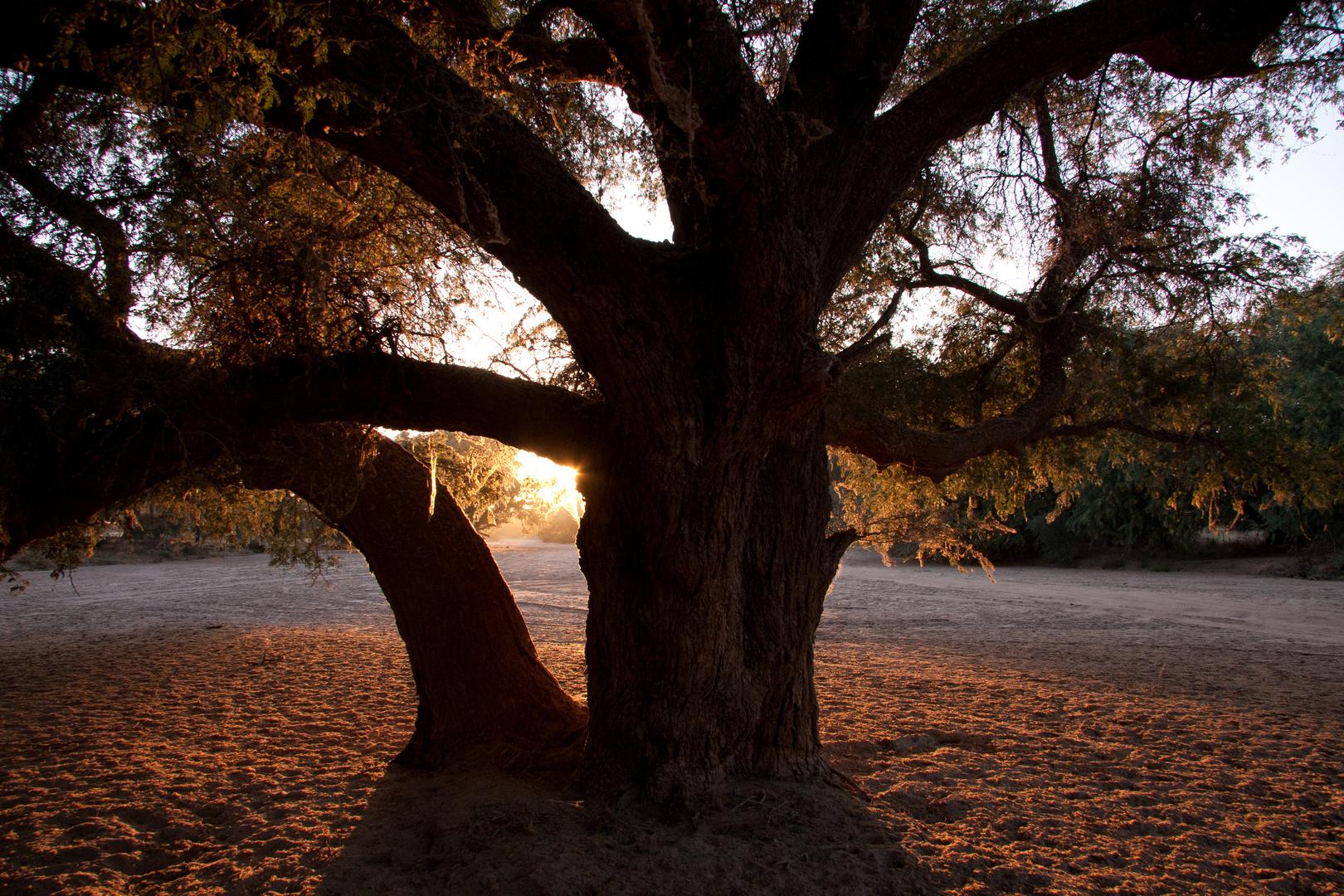 Baum im Ugab