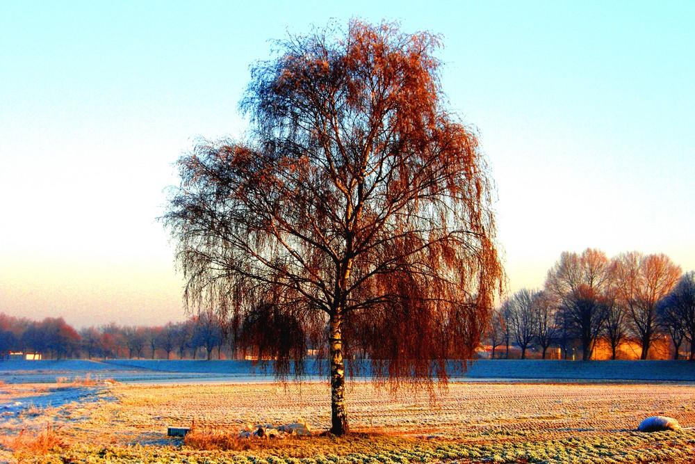 Baum im Wnter Januar 2008