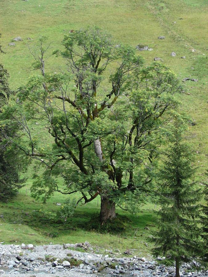 Baum in ca 1700m Seehöhe