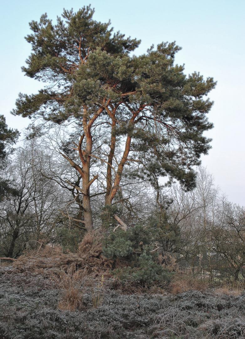 Baum in der Heide