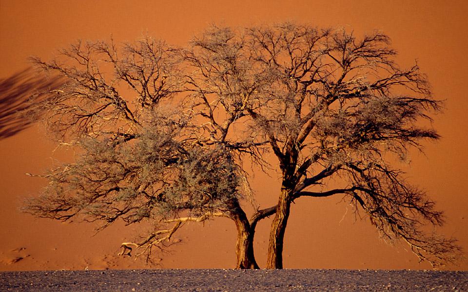 Baum in der Namib