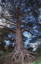 Baum in San Francisco