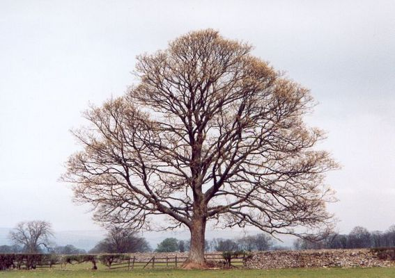 Baum in West Borton, North Yorkshire