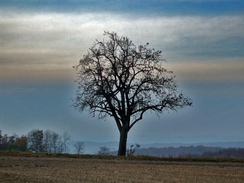Baum mit Saatkrähen