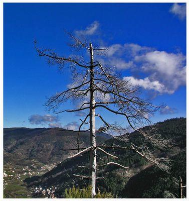 Baum nach Feuer - Manteigas - Portugal