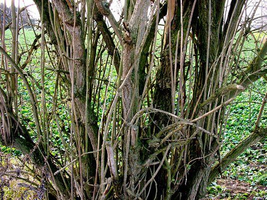 Baum, Stuktur