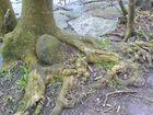 Baum umarmt Stein