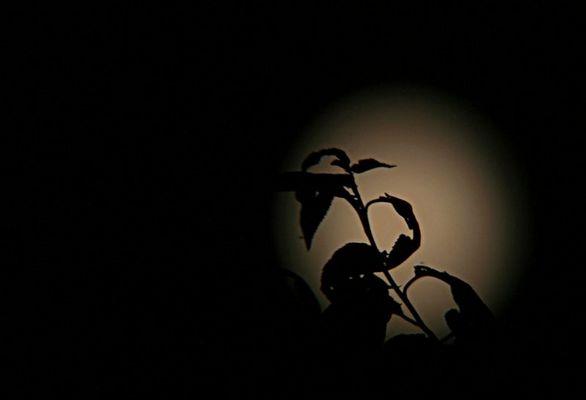 Baum vor Mond