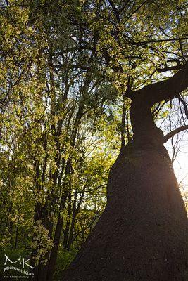Baum - windschief