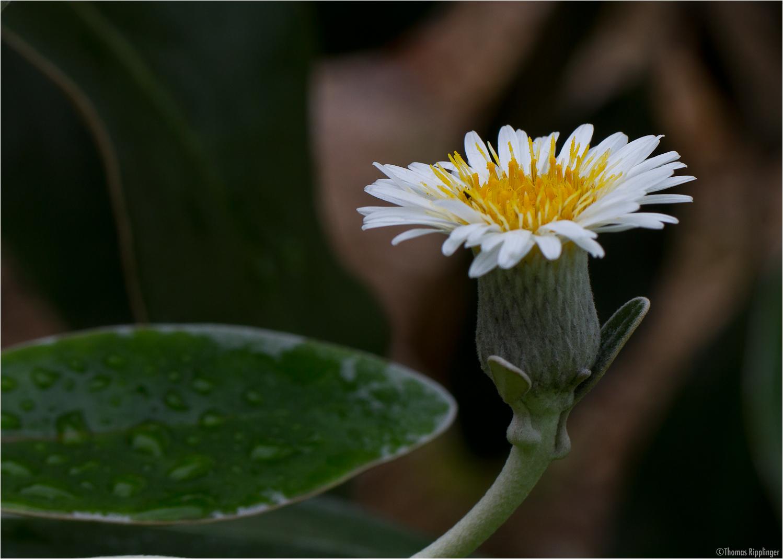 Baumaster (Pachystegia insignis)