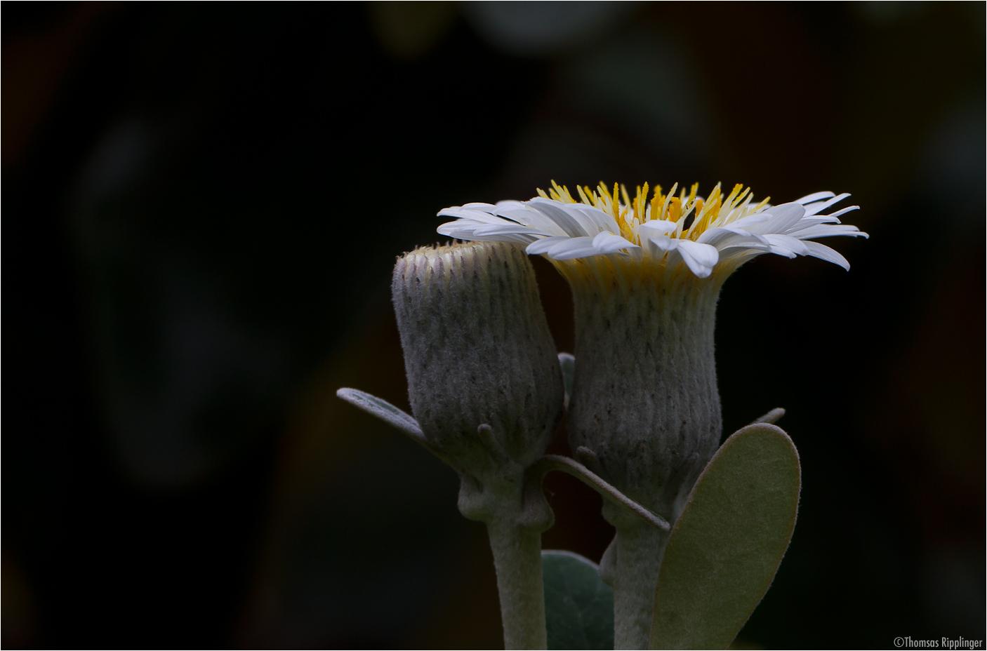 Baumaster (Pachystegia insignis).