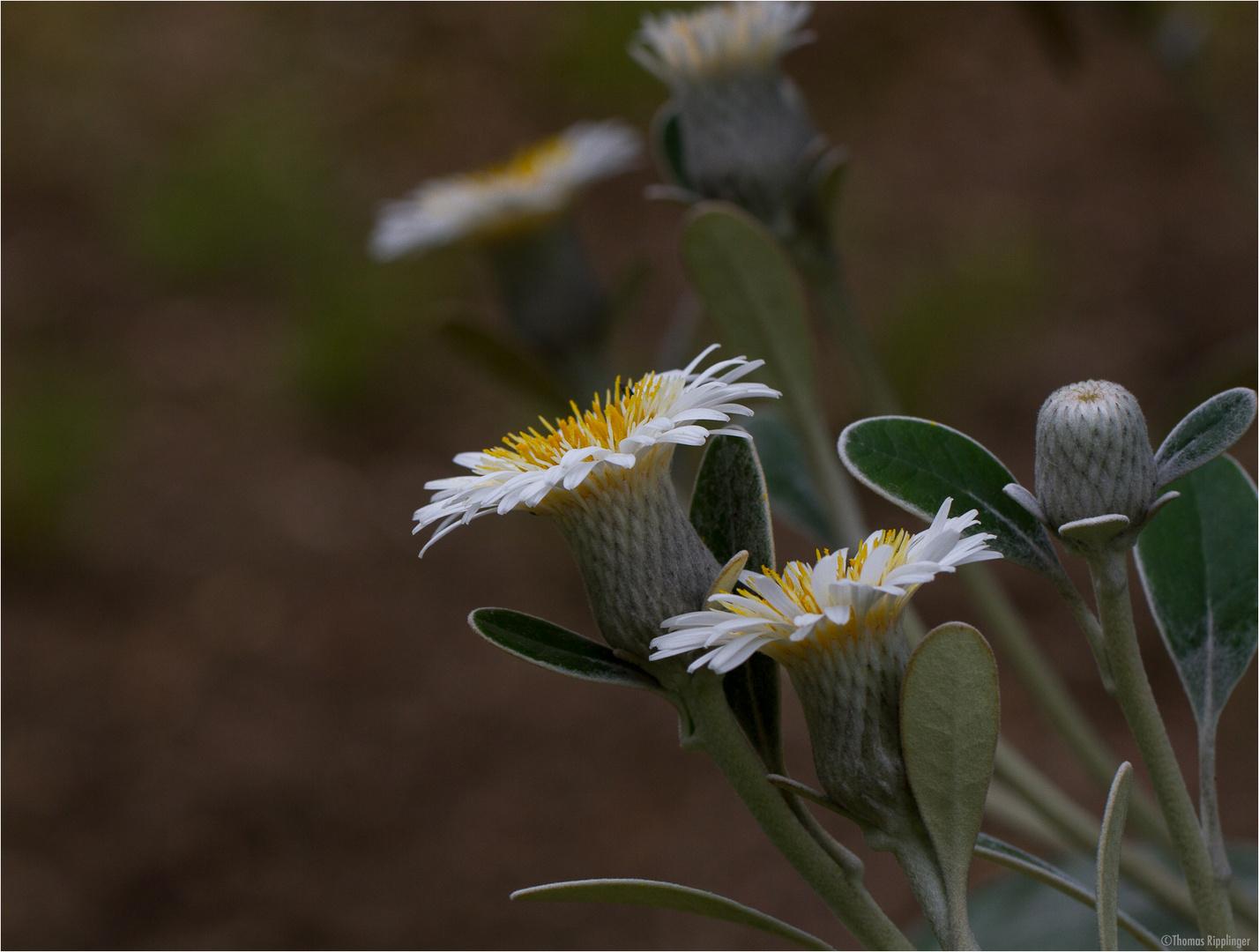 Baumaster (Pachystegia insignis)..
