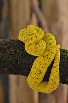 Baumbewohnende Grubenotter (B. schlegelii) Weibchen aus Costa Rica
