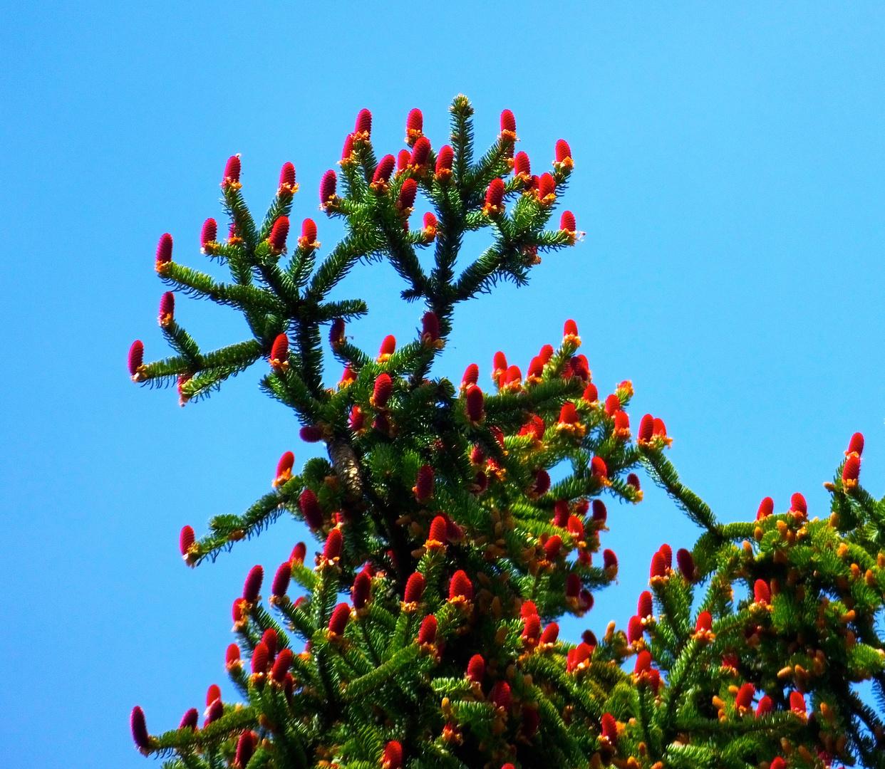 Baumblühte Rotfichte ( Picea abies )
