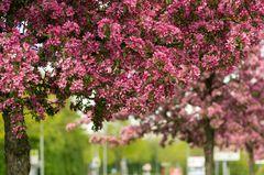 Baumblüte an der Kneippallee in Zirndorf