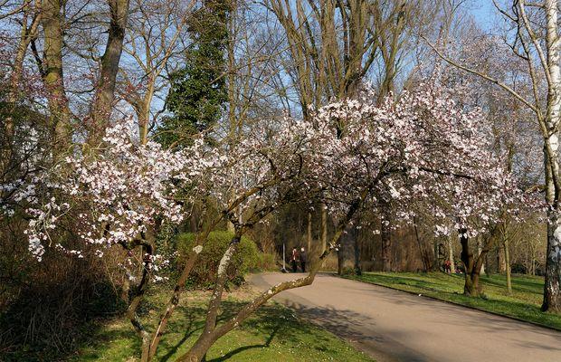Baumblüte im Kurpark Wiesbaden